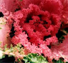 Ornamental cabbage, beautiful in winter