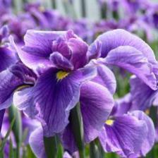 Bearded iris, the garden iris