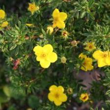 Cinquefoil, a cute bushy plant