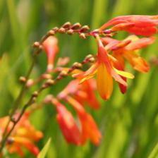 Crocosmia, finding its way back into gardens