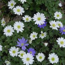 Grecian windflower, superb flowers