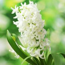 White Pearl hyacinths, outstanding white flowers