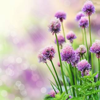 Chives, a delicious herb