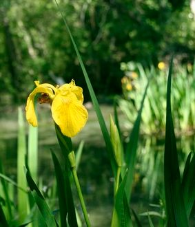 Yellow iris, yellow and water-bound