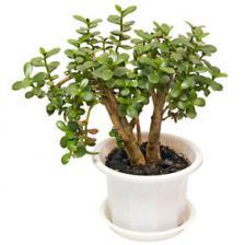 Crassula, the Jade tree