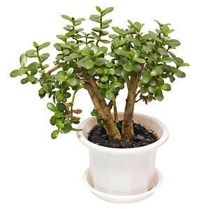 Crassula, the Jade tree