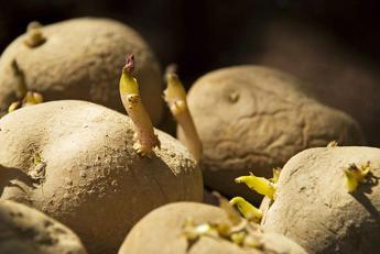 faire germer pomme de terre