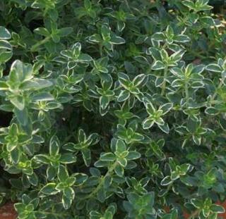 Lemon thyme, a citrus-smelling spice