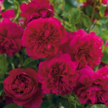 David Austin, four new English roses