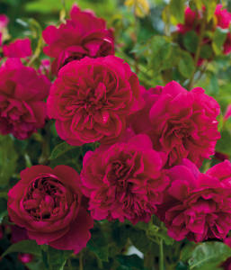 David Austin, four new English roses