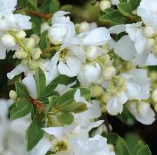 Exochorda, the pearl bush