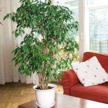 Ficus forever, everything you want to know about it