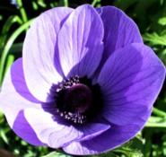 Pasqueflower, a celebration of Easter
