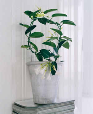 Stephanotis, VIP fragrance