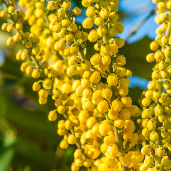 Mahonia, blazing gold from New Year's to Spring