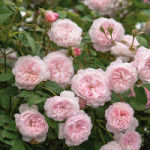 Albrighton Rambler rose tree