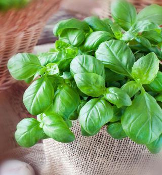 Basil, very tasty leaves