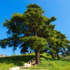 Cedar tree, a magnificent conifer