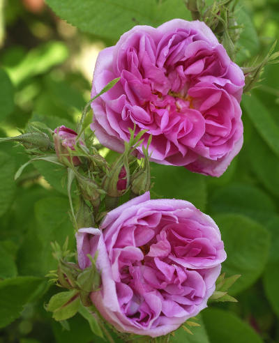 Easy rose trees to grow