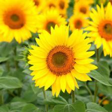 Sunflower, a simply beautiful flower!