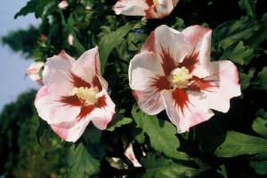 Hibiscus, a tropical sensation