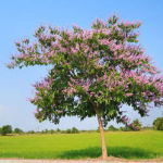indica crepe myrtle