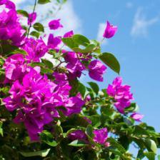 Bougainvillea, a unique climbing plant
