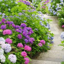 Hydrangea, tips and guidance for the best possible care
