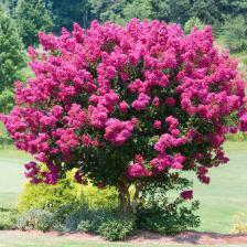 Crepe myrtle, superb blooming
