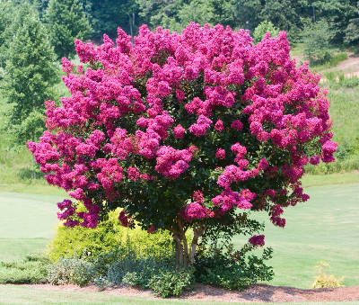 Crepe myrtle, superb blooming