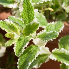 Pineapple mint, beautifully variagated