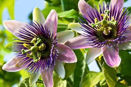 Blue passion flower, an exceptional vine