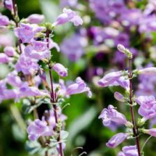 Beardtongue, tips and guidance for the best possible care