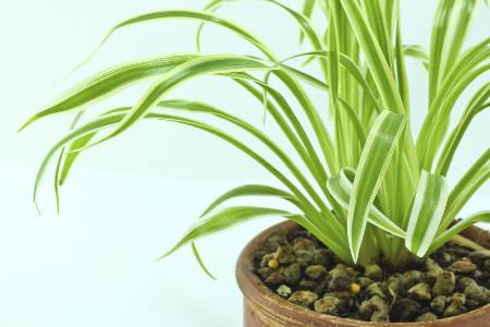Ribbon plant, remarkable leaves