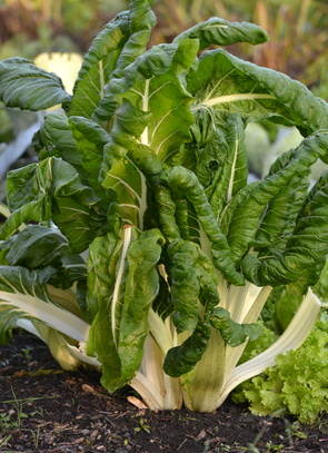 Silverbeet, for its leaves and stems