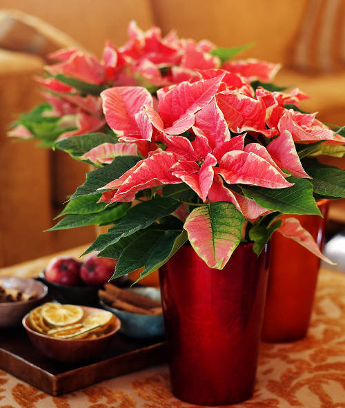 Poinsettia After Christmas