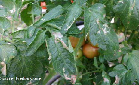 Tomato pinworm, techniques and treatments to avoid and cure the disease