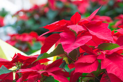How To Make Poinsettia Red Again