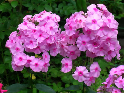 Phlox care in spring summer and winter for this perennial or phlox a cute herbaceous flower mightylinksfo
