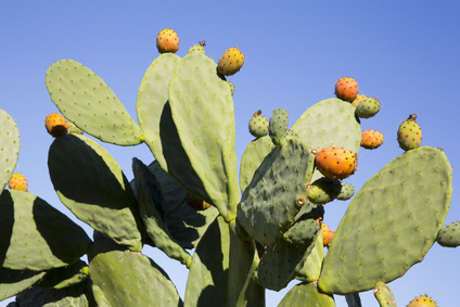 Barbary fig health benefits and therapeutic value