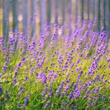 Lavender, a welcoming summer flower.
