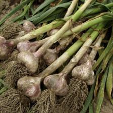 Garlic, how to grow it
