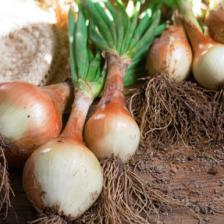 Onions all year round