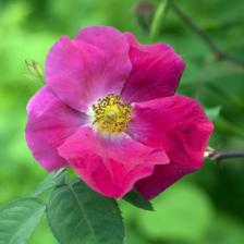 Rose health benefits and therapeutic value