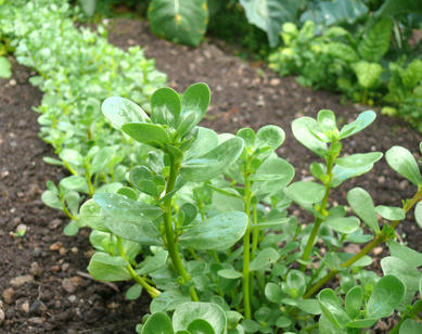 Purslane from seed to harvest