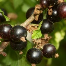 Blackcurrant, small but bountiful