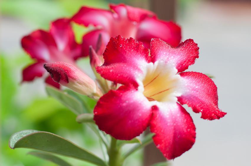 Adenium, the desert rose