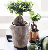 Ficus Tree Species And Varieties To Grow Indoors