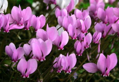 Ivy leaf cyclamen, for a marvelous carpet of flowers