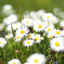Lawn daisy, easy and abundant
